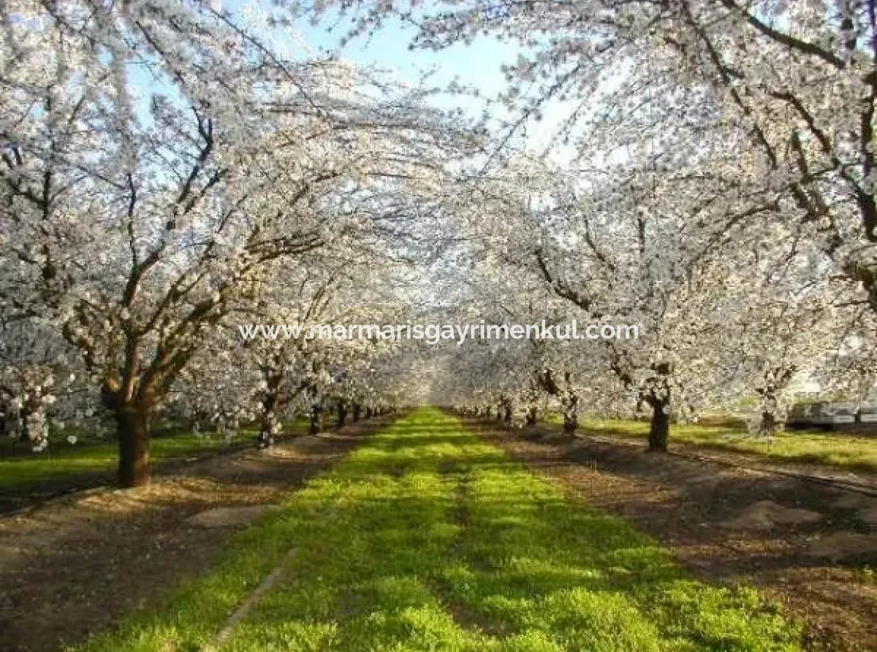 Muğla Bölgesinde 880000M2 Satılık Ceviz Bahçesi