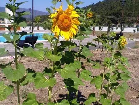 Marmaris İçinde 7000M2 Arsa Üzerine Kurulu 8 Oda Çiftlik Evi Havuz Mevcut